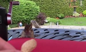 Helping Chipmunk Fill Her Cheeks