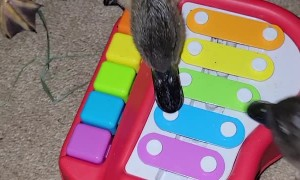 Ducklings Playing with Toy Piano in Quack Minor