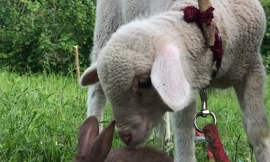 Bunny and Lamb Have Sweet Introduction