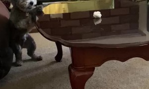 Doggy Pounces Onto Table for Paper Ball