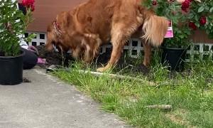 Golden Retriever Helps Dig Rose Garden