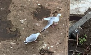 Seagull Pulling on Friends Wing