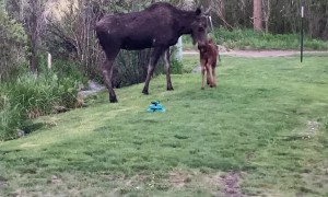 Momma Moose Drops by With Baby for Breakfast