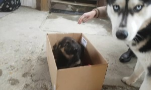 Husky Adorably Welcomes New German Shepherd Puppy