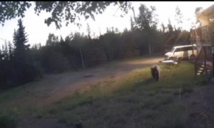 Brown Bear and Her Cubs Chasing Moose