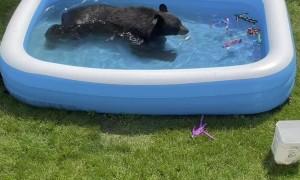 Bear Escapes Heatwave in Kiddie Pool