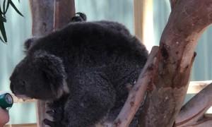 Sanctuary Staff Offers Thirsty Koala Water