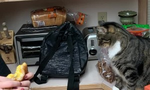 Cat Fascinated by Grilled Cheese Sandwich