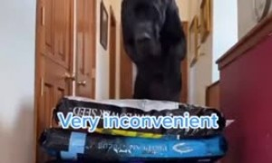 Human friend challenges Great Dane to jumping competition
