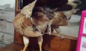 Bird Goes Beak-to-Beak with Mirror