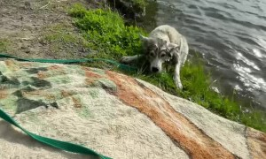 Husky Puppy Accidentally Rolls into Water
