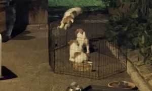 Jack Russell Puppies Escape Pen