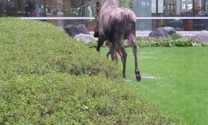 Hospital Grounds Prove to Be Popular Birthing Ground for Momma Moose