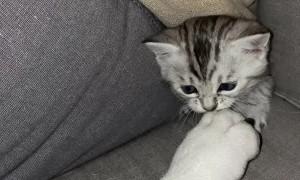 Kitten Provokes Sleeping Bulldog From Secret Hiding Spot