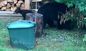 Vermont's 3-Legged Mama Bear Teaches Her Cubs