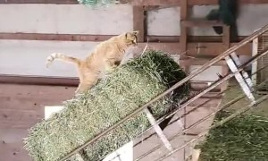 Courageous Cat Goes for Hay Ride
