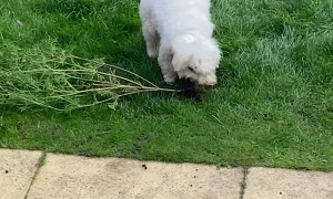 Fluffy Pup Helps with Gardening