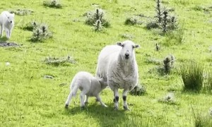 Lamb Sprints Toward Sweet Reunion With Mother