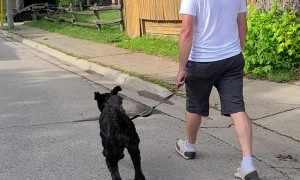 Excited Labradoodle Leaps Like a Bunny