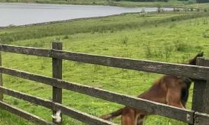 Mistimed Jump Sends Dog Springing off Fence