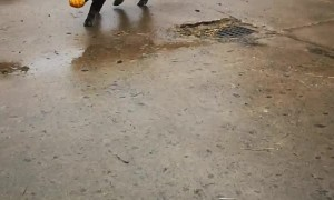 Kunekune Pig Playing Fetch With a Pumpkin