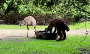 Alpaca Pumped for Pool Time