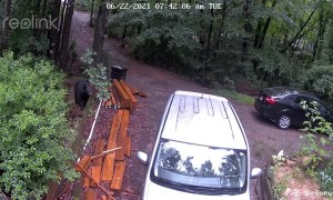 Mother Bear Defends Triplets From Dog