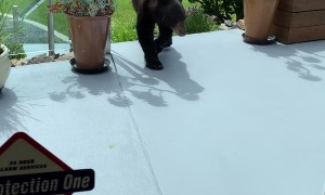 Yearling Bear Visits Local Patio