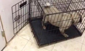 Pug of Habit Can't Operate Slightly Turned Crate