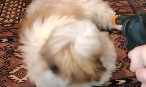 Little Shih Tzu Nails the Play Dead Trick