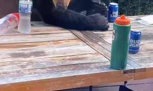 Bears Knock Over Beers on Back Porch