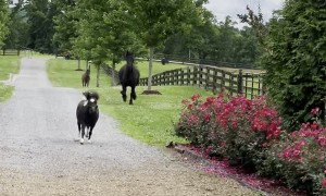 String of Horses Gallop Down Country Road