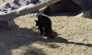 Two Bear Cubs Wrestling at Bear World