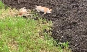 A Group of Shiba Inus Find Manure Pile