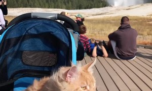 Maine Coon Cat Visits Old Faithful Geyser