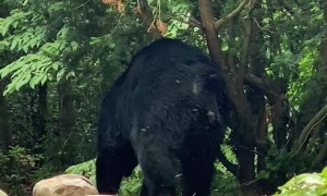 Bear Scratching Against Tree
