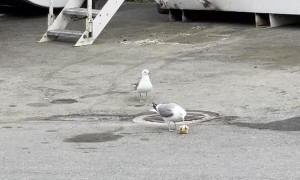 Jerk Seagull Steals Prized Snack from Friend