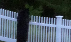 Bear Tears Down Backyard Fence with Ease