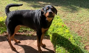Toddler and Rottweiler Sing Songs Together