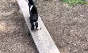 Baby Pygmy Goat Plays on Seesaw