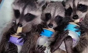 Raccoon Babies Go Bonkers Over Bottles