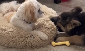 Dog Pulls Bed Away From Biting Puppy
