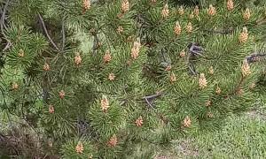 Pollen in the Pines