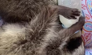 Baby Raccoons Hold Their Own Bottles