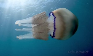 White Jellyfish Floats with Baby Fish