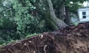 Massive tree completely uprooted after tornado in Annapolis
