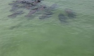 Mass of Manatees Moves Towards Shore Together