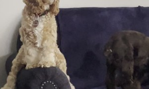 Remi the Cocker Spaniel Likes Sitting in Funny Ways
