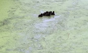 Tufted Ducklings Paddle After Disappearing Diving Mom