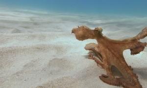 Adolescent Octopus Scuttles along Ocean Floor